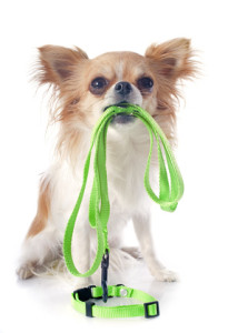 chihuahua and leash